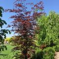 Buk pospolity Purpurea Tricolor sadzonka 80-100cm w pojemniku drzewa ozdobne